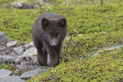 Puppy Commanders blue arctic fox walking towards the green summe Royalty Free Stock Photos