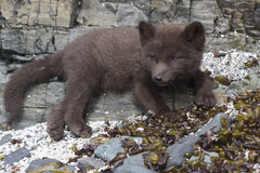 Puppy Commanders blue arctic fox which lies on the rocks near Royalty Free Stock Photo