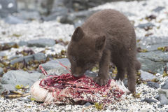 Puppy Commanders blue arctic fox who eats guillemot near the Stock Photos