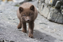 Puppy Commanders blue arctic fox who steals the stones summer Royalty Free Stock Photos