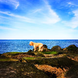 Puppy contemplates Jumping into Ocean under Blue Sky. An adorable blonde curly-haired cockapoo puppy contemplates jumping from the rocks into the blue Atlanti Stock Photos