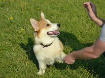 Free Puppy Corgi Pembroke On A Walk. Young Energetic Dog On A Walk. Puppies Education, Cynology, Intensive Training Of Young Dogs. Stock Photos - 122622433
