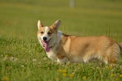 Puppy Corgi.Young energetic dog on a walk. Puppies education, cynology, intensive training of young dogs. Walking dogs in nature. Puppy Corgi pembroke on a walk stock photo