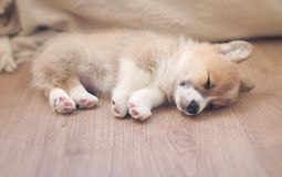 puppy of corgi sleeps peacefully on wooden floor in the house stretched out small paws stock photo