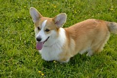 Free Puppy Corgi.Young Energetic Dog On A Walk. Puppies Education, Cynology, Intensive Training Of Young Dogs. Walking Dogs In Nature. Royalty Free Stock Image - 122613296