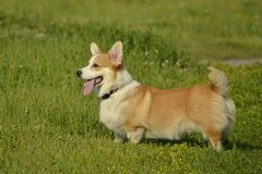 Puppy Corgi.Young energetic dog on a walk. Puppies education, cynology, intensive training of young dogs. Walking dogs in nature. Puppy Corgi pembroke on a walk royalty free stock image