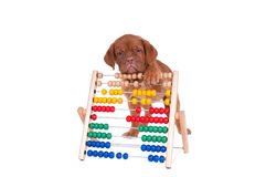Puppy counting Stock Photo