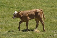 Puppy cow Royalty Free Stock Images