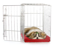 Puppy in a crate. Shih tzu puppy laying in open dog crate with reflection on white background stock photos