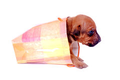 Puppy crawling out of gift bag Stock Image