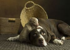 Puppy crawls on top of mothers head. Tiny brown pit bull puppy indoors on brown rug climbing and cuddling with it`s mother royalty free stock image