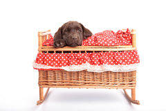 Puppy in a crib Stock Photos