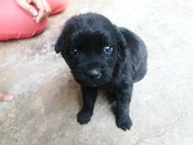 Puppy. Cute dog puppy- labrador Royalty Free Stock Images