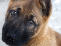 Puppy. Cute German shepherd dog in the snow Stock Photo