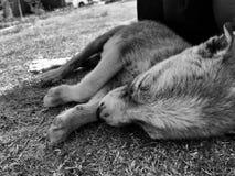 Puppy. Cute puppy sleeping Royalty Free Stock Photos