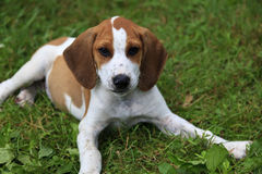 Puppy. Cute tan and white beagle puppy laying in the grass royalty free stock image