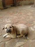 Puppy. Cuteness overloaded incarnated doggy Stock Photo