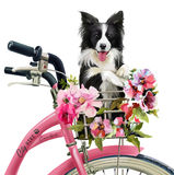 Puppy cyclist watercolor painting Royalty Free Stock Photos