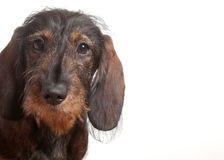 Puppy dachshound isolated on suite Stock Images