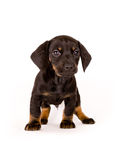 Puppy of dachshund. Isolated on white Stock Photos