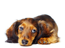 Puppy dachshund stock image