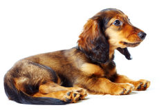 Puppy dachshund Royalty Free Stock Images