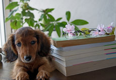 Puppy dachshund and a book stock photo
