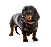Puppy dachshund Royalty Free Stock Photos