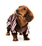 Puppy dachshund Stock Photos
