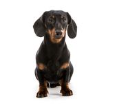 Puppy dachshund Royalty Free Stock Photo