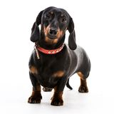 Puppy dachshund Royalty Free Stock Image