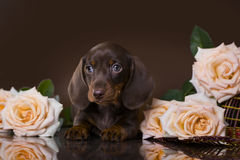 Puppy dachshund of chocolate color Stock Images