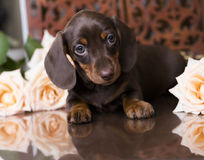 Puppy dachshund of chocolate color Stock Photography