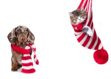 Puppy dachshund and Christmas kitten stock images
