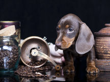 Puppy dachshund Royalty Free Stock Image