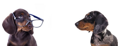 Puppy dachshund in glasses Stock Photos