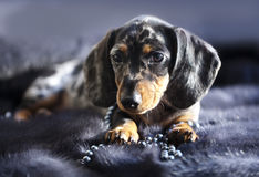 Puppy dachshund in glasses Royalty Free Stock Photography