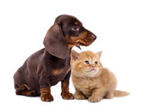 Puppy dachshund and kitten Stock Photo