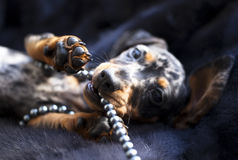 Puppy dachshund Stock Photography