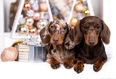 Puppy dachshund  Christmas dog. Puppy dachshund, New Year`s puppy, Christmas dog Stock Images