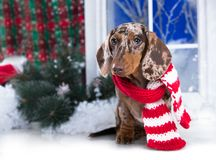 Dachshund dog New Year`s puppy, royalty free stock images