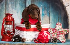 Dachshund New Year`s puppies stock images