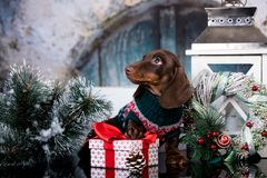 Puppy dachshund and Christmas gift stock images