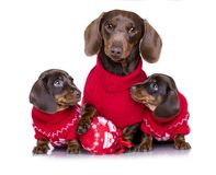 Puppy dachshund and New Year`s puppy Stock Image