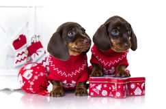 Puppy dachshund Stock Images