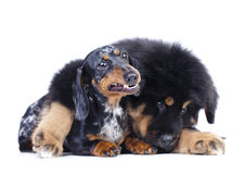 Puppy and dachshund. Dachshund teeth Stock Photo