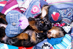 Puppy dachshund and valentine  heart Royalty Free Stock Photos