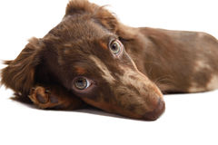 Puppy dachshund on a white background Stock Photography