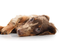 Puppy dachshund on a white background Royalty Free Stock Photos