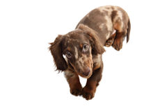 Puppy dachshund on a white background Royalty Free Stock Photography